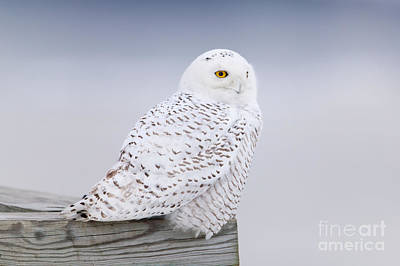 Photograph - Snowy Owl I by Clarence Holmes
