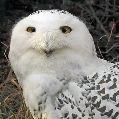 Snowy Owl Art Print by images by Nancy Chow