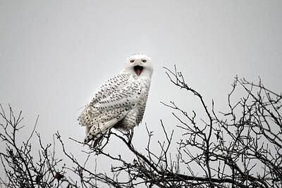 Rare Bird Of Canada Photograph - Snowy Owl In A Tree by Pierre Leclerc Photography