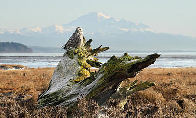 Photograph - Snowy Owl In Boundary Bay With Mt Baker by Pierre Leclerc Photography