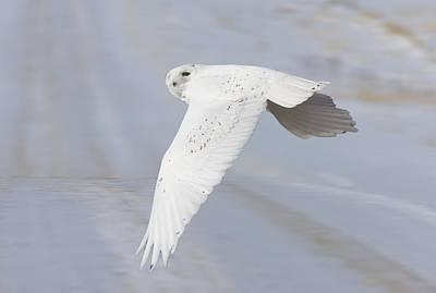 Snowy Owl In Flight In Saskatchewan Canada Art Print by Mark Duffy