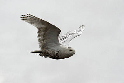 Photograph - Snowy Owl In Flight by Pierre Leclerc Photography