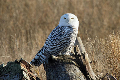 Photograph - Snowy Owl In The Wild by Pierre Leclerc Photography