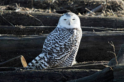 Photograph - Snowy Owl In Vancouver by Pierre Leclerc Photography