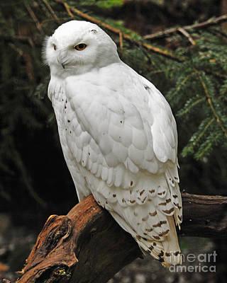 Photograph - Snowy Owl by Jack Moskovita
