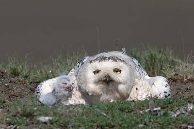 Baby Bird Photograph - Snowy Owl Nyctea Scandiaca Mother by Konrad Wothe
