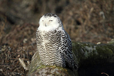 Photograph - Snowy Owl  by Pierre Leclerc Photography