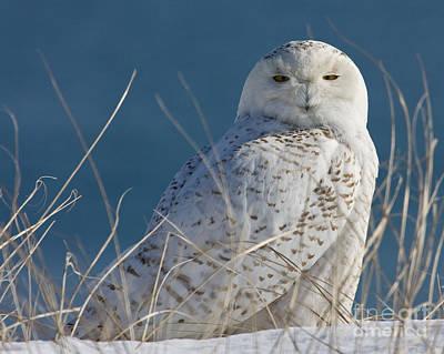 Snowy Owl Profile Art Print