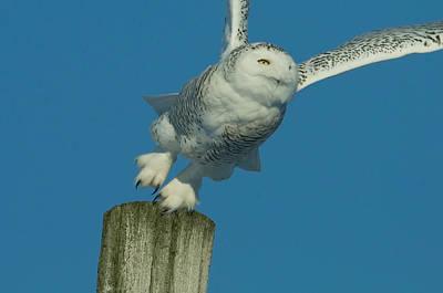Snowy Owl Take-off Original