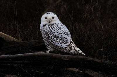 Photograph - Snowy Owl Two by Lawrence Christopher
