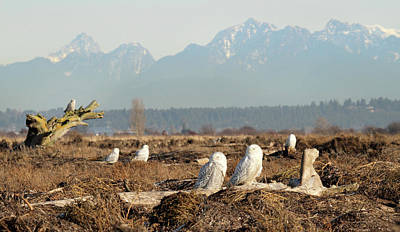 Photograph - Snowy Owls Of Boundary Bay B.c by Pierre Leclerc Photography