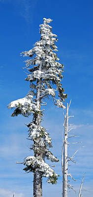 Winter Trees Photograph - Snowy Pine And Blue Sky by Twenty Two North Photography