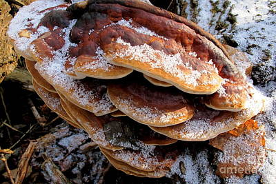 Photograph - Snowy Red-belted Polypore by Timothy Myles