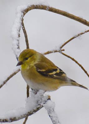 Finch Photograph - Snowy Yellow Finch by LeeAnn McLaneGoetz McLaneGoetzStudioLLCcom