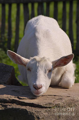 Goat Art Print by Angela Doelling AD DESIGN Photo and PhotoArt