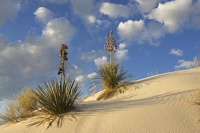 Photograph - Soaptree Yucca Yucca Elata Pair Growing by Konrad Wothe