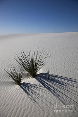 Photograph - Soaptree Yuccas On White Sands by Greg Dimijian