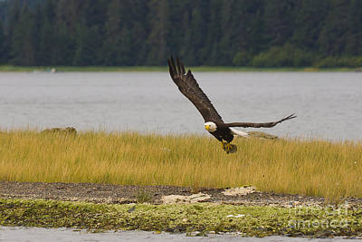 Canada Photograph - Soaring Bald Eagle by Darcy Michaelchuk