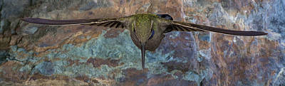 Iridescent Photograph - Soaring Blue Throat by Gregory Scott