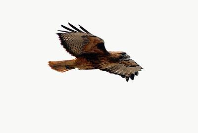 Red Tail Hawk Digital Art - Soaring Peacefully by Don Mann