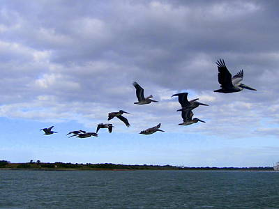 Photograph - Soaring Pelicans by RobLew Photography
