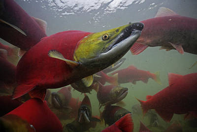 Sockeye Salmon Find Their Way Art Print by Michael Melford