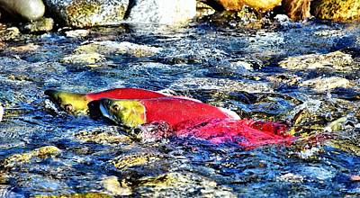 Salmon Photograph - Sockeye Salmon Spawning by Don Mann