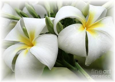 Photograph - Soft And Delicate Plumeria by Sabrina L Ryan