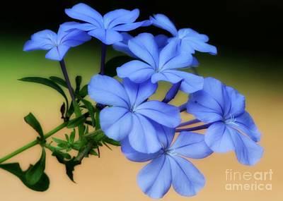 Photograph - Soft Blue Plumbago  by Sabrina L Ryan