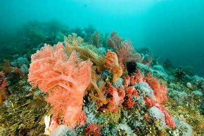 Malapascua Island Photograph - Soft Corals Of Many Hues Cover A Reef by Tim Laman