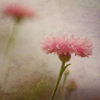 Cornflower Photograph - Soft Fragility by Joel Olives