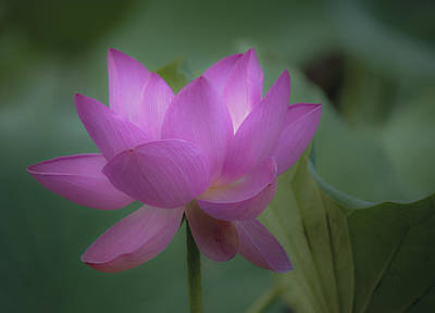 Soft Lotus Art Print