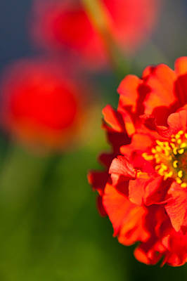 Photograph - Soft Red Flower by Joseph Bowman