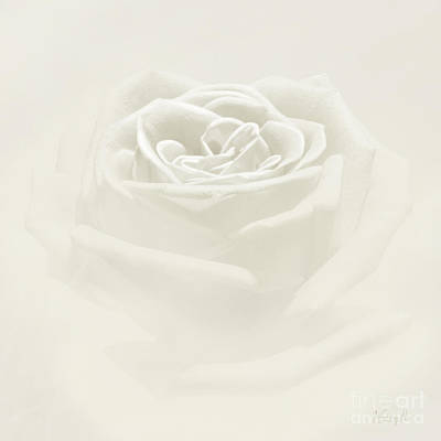 Digital Art - Soft Rose by Johnny Hildingsson