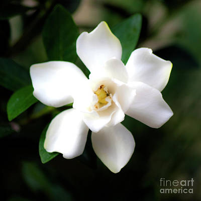 Photograph - Soft White by Ken Frischkorn