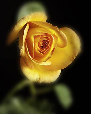 Soft Yellow Rose On Black Art Print by M K  Miller