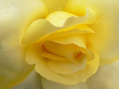 Photograph - Softness Of A Yellow Rose by Jennie Marie Schell