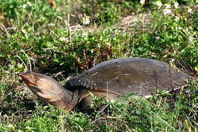 Photograph - Softshelled Turtle by Ira Runyan