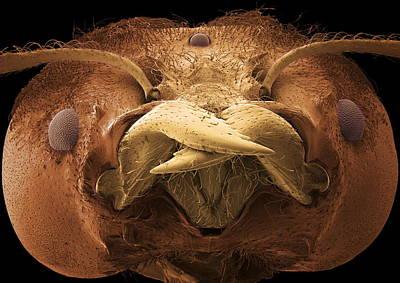 Soldier Ant Jaws, Sem Art Print by Steve Gschmeissner