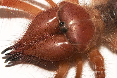 Photograph - Solifugid Portrait by Mareko Marciniak