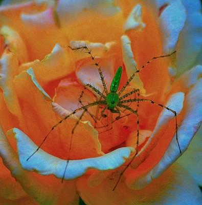 Digital Art - Something Green On The Rose by Carrie OBrien Sibley
