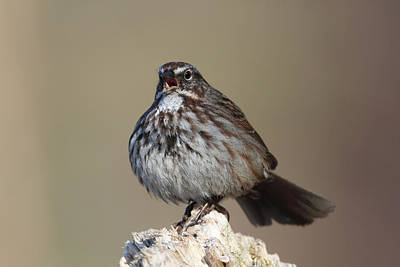 Photograph - Song Sparrow Singing by Doug Lloyd