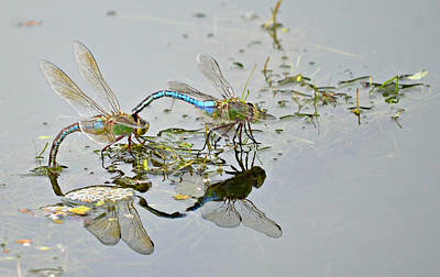 Dragonflies Mating Photograph - Soul Mates by Fraida Gutovich