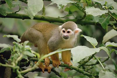 South American Squirrel Monkey Saimiri Art Print