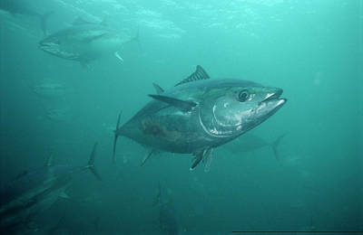 Indecision Photograph - Southern Bluefin Tuna Thunnus Maccoyii by Mike Parry