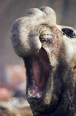 Southern Elephant Seal Roaring Art Print