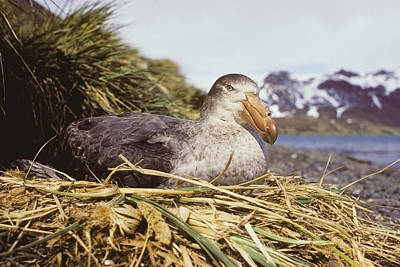 Southern Giant Petrel Art Print by Peter Scoones