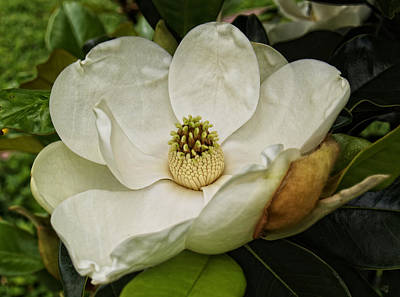 Photograph - Southern Magnolia by Barbara Middleton