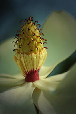Photograph - Southern Magnolia Flower by David Weeks