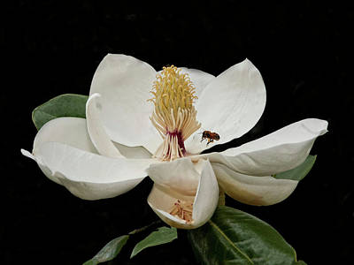 Southern Magnolia With Bee Art Print